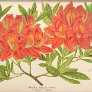 Illustrazione botanica dell'azalea mollis