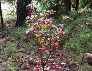 Azalea mollis nel periodo di caduta delle foglie