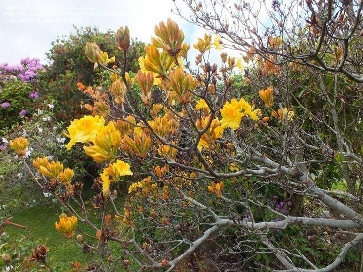 Tipica fioritura senza foglie di azalea mollis