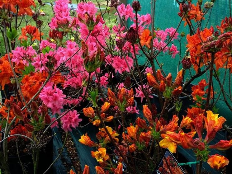 Rami di azalea mollis di vari colori