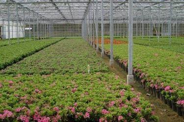 azalee coltivate in serra