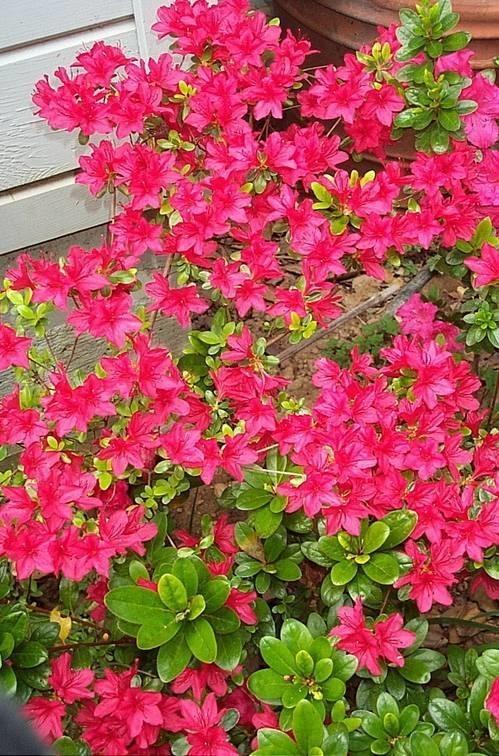 Azalea piante da giardino coltivazione azalea - Azalee da esterno ...