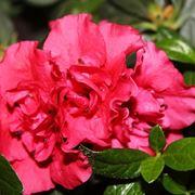 azalea pianta