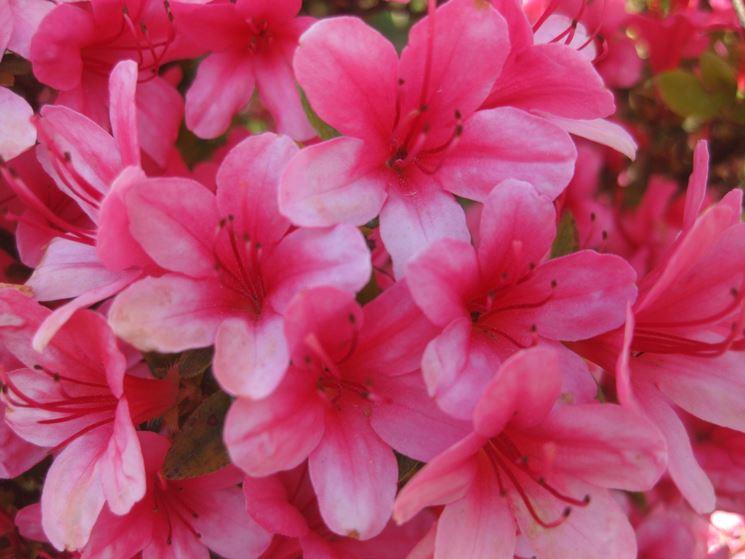 Azalee piante da giardino come curare le azalee for Cura azalea