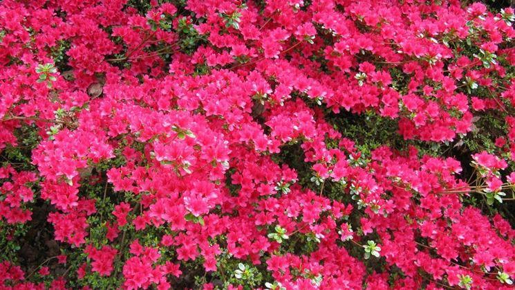 Azalea in fioritura