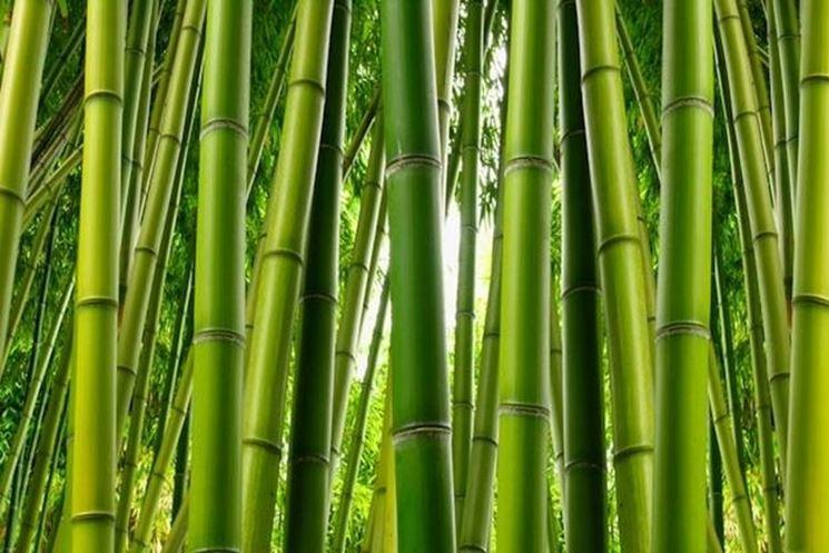 Canne di bambu