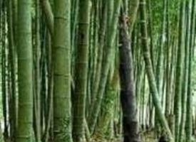 Bamb�