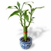canne di bambu in vaso