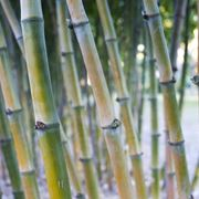 canne di bambu in vaso