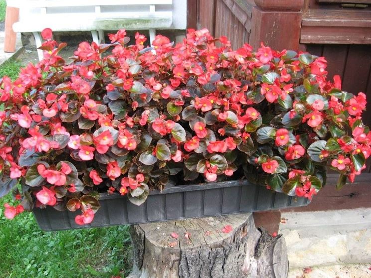 Begonia semperflorens in vaso