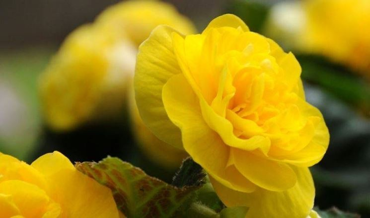 Particolare del fiore di begonia