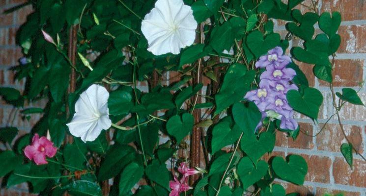 Belle di notte piante da giardino coltivare belle di notte for Piante belle da giardino