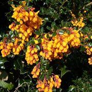 fiori berberis