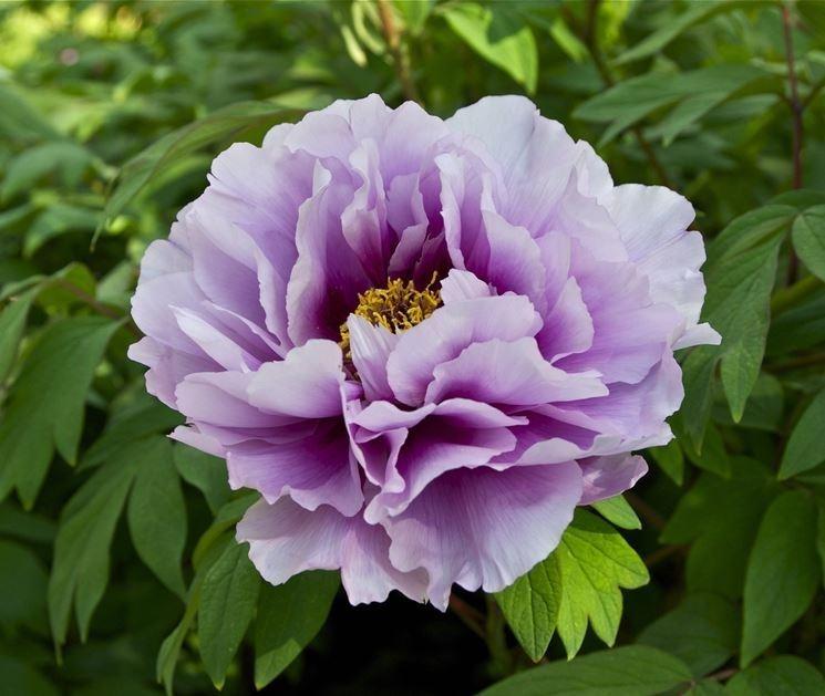 Bellissima peonia viola