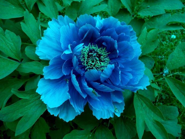 Bellissima peonia blu
