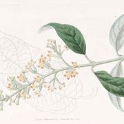Disegno botanico di buddleja madagascariensis