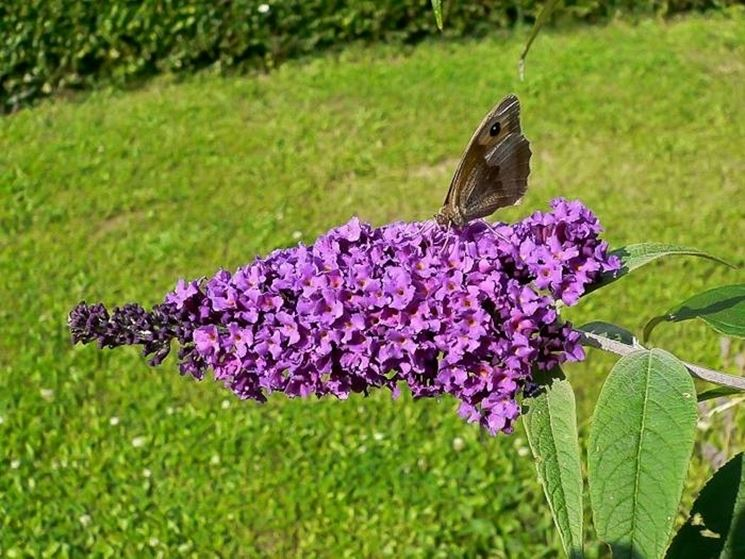 Fiore di Buddleja Davidii