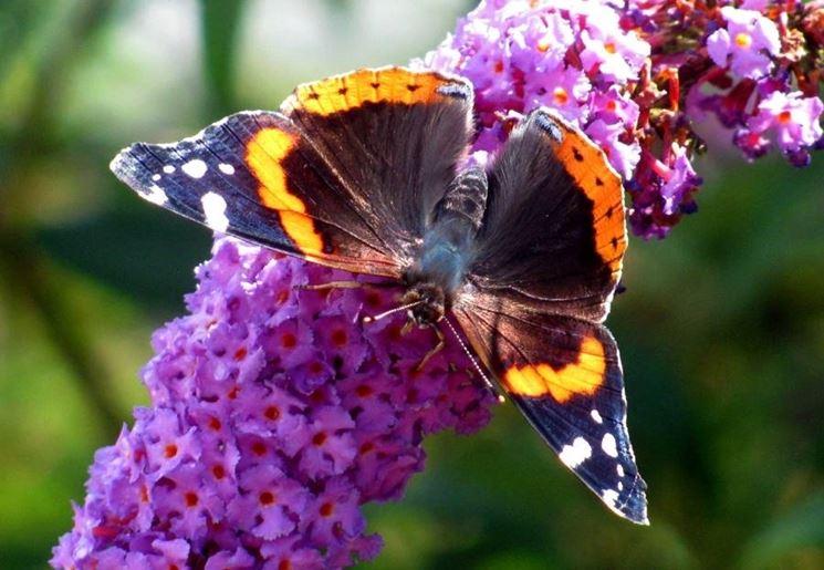 La buddleia, l'albero delle farfalle