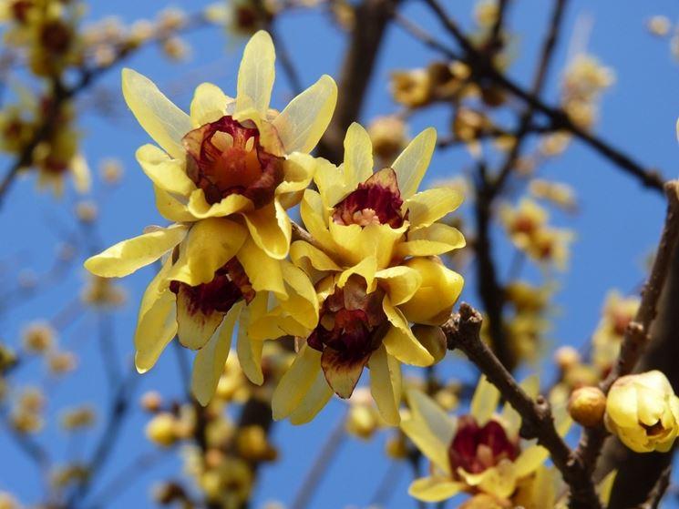 fiori di calicanto