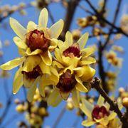 calicantus fiore