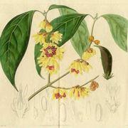 calicantus pianta