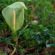 Una calla selvatica che cresce spontaneamente in natura
