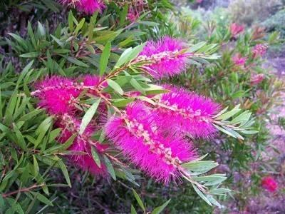 Callistemon piante da giardino for Oleandro riproduzione