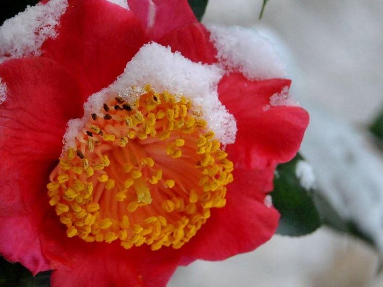 Fiore di camelia invernale sotto la neve