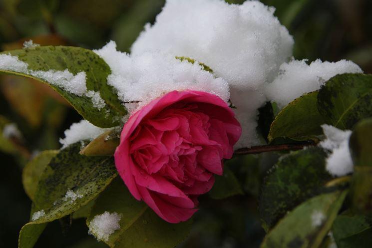 Fiore di camelia invernale