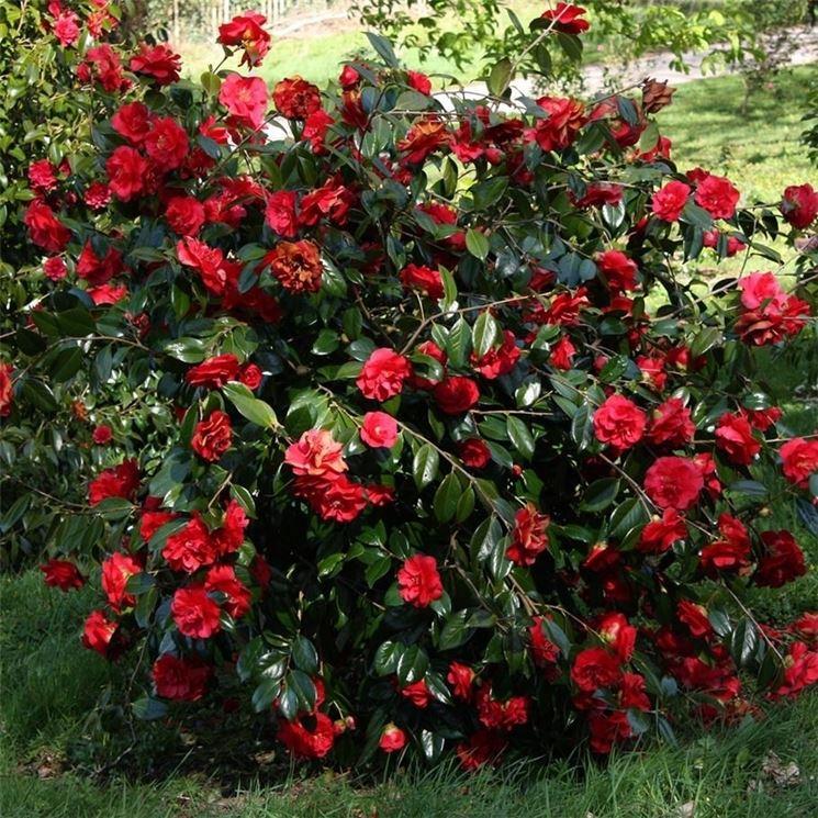 Camelia rossa piante da giardino camelia colore rosso for Pianta camelia