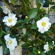Fiore di Camelia sasanqua
