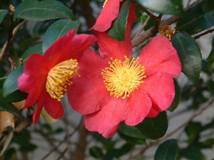 Fiore di Camelia sasanqua rossa