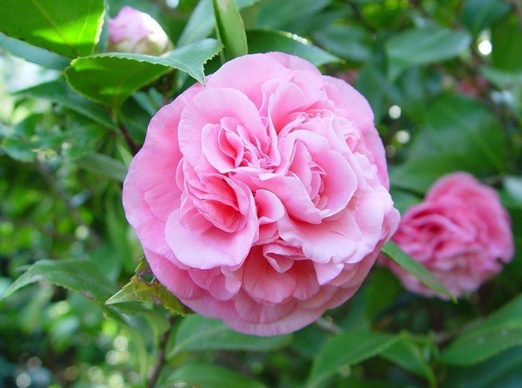 camellia japonica piante da giardino caratteristiche delle camelie japoniche. Black Bedroom Furniture Sets. Home Design Ideas