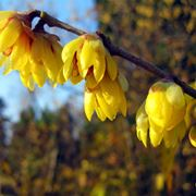 Chimonanthus praecox in fiore