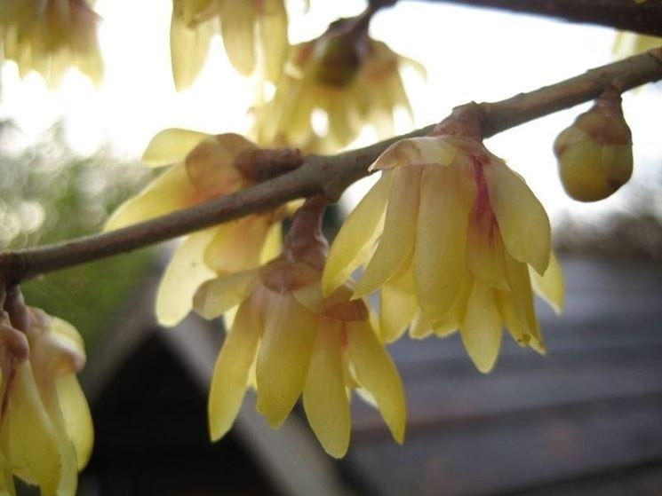 Particolare del fiore di calicanto