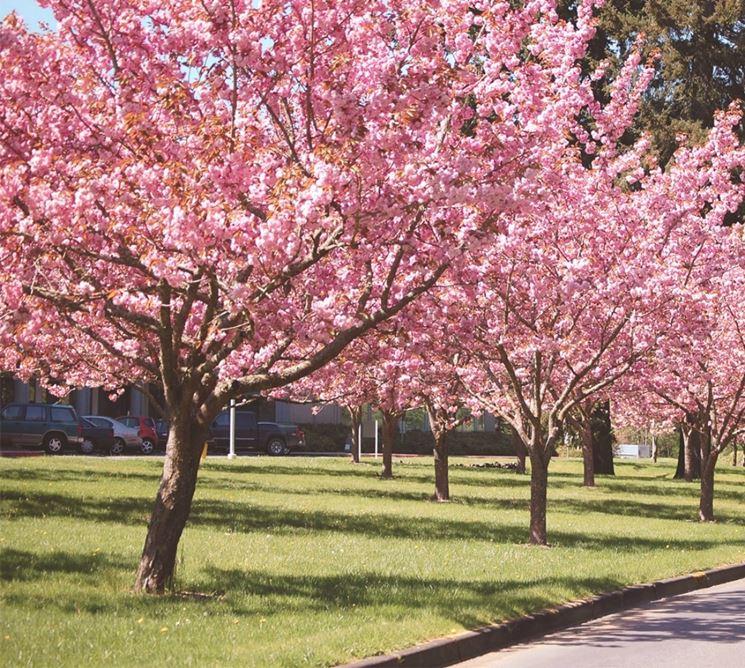 Ciliegio da fiore piante da giardino coltivare ciliegio - Ciliegio da giardino ...