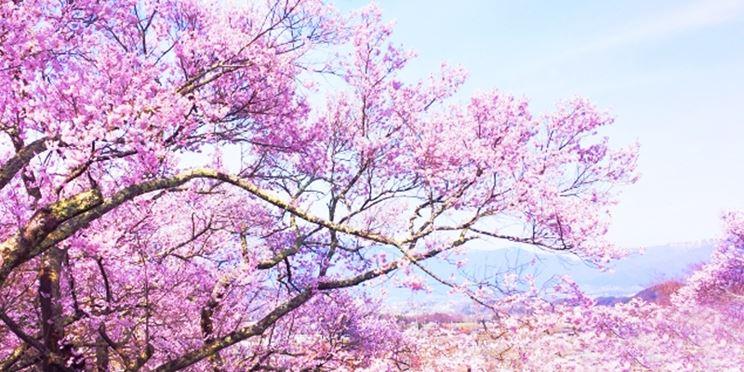 Ciliegio giapponese piante da giardino coltivare ciliegio - Piante per giardino giapponese ...