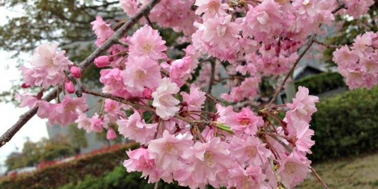 Ciliegio giapponese piante da giardino coltivare ciliegio - Ciliegio da giardino ...