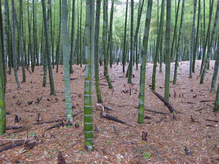 Coltivare canne di bambu - Piante da giardino - Come coltivare le canne di bambu