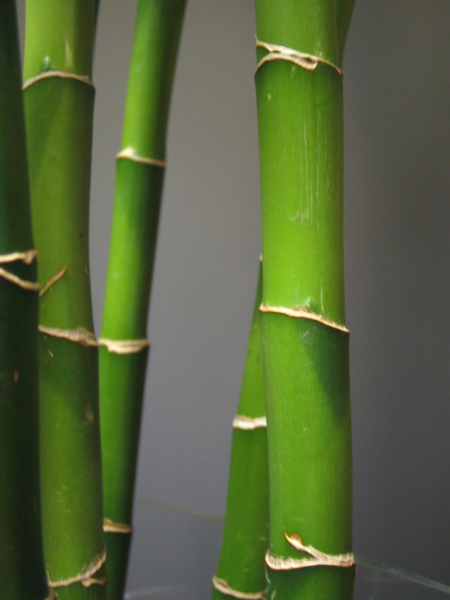 Coltivare canne di bambu piante da giardino come coltivare le canne di bambu - Bambu in vaso da esterno ...