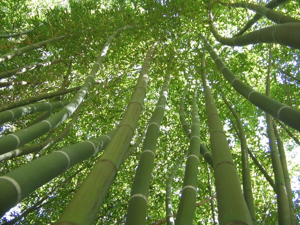 Coltivare canne di bambu piante da giardino come - Piante tropicali da giardino ...