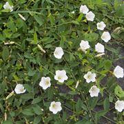 Convolvolo in fiore