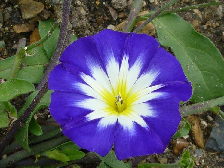 Fiore di Convolvulus tricolor