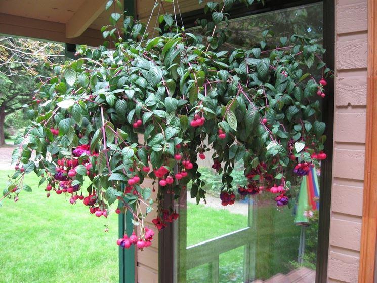 Favoloso Coltivare la fucsia - Piante da giardino - Come coltivare la fucsia OM05