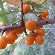 Frutto olivello spinoso