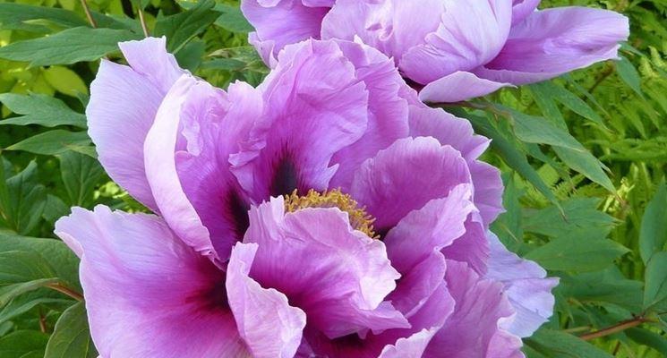 Peonia in fiore