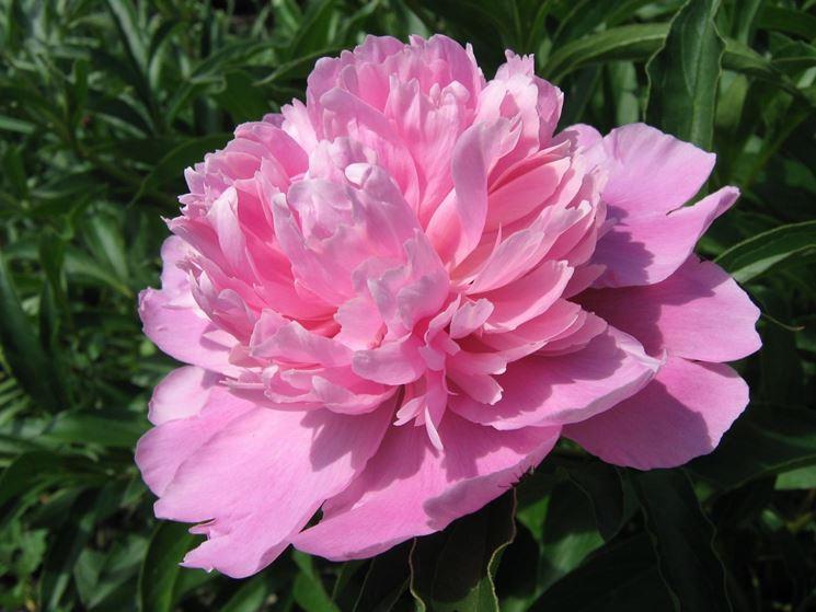 Peonia in fioritura
