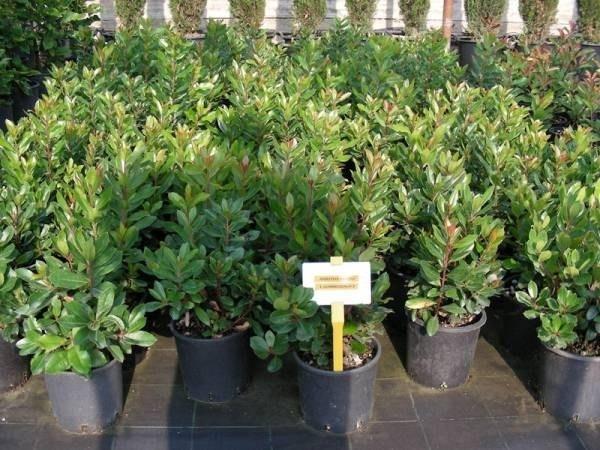 Corbezzolo malattie piante da giardino corbezzolo for Piante di giardino