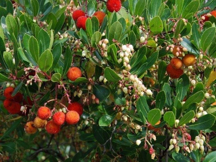 Corbezzolo pianta piante da giardino corbezzolo pianta - Albero sempreverde da giardino ...