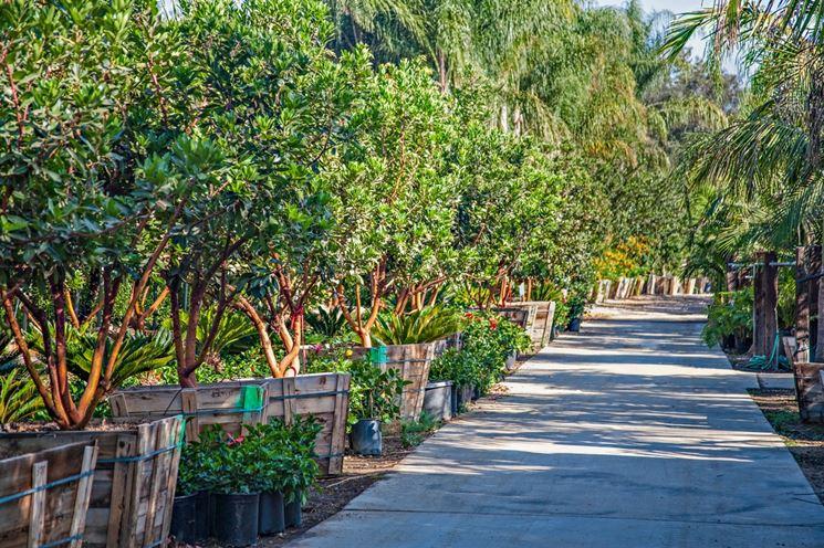 corbezzolo piante da giardino coltivare corbezzola